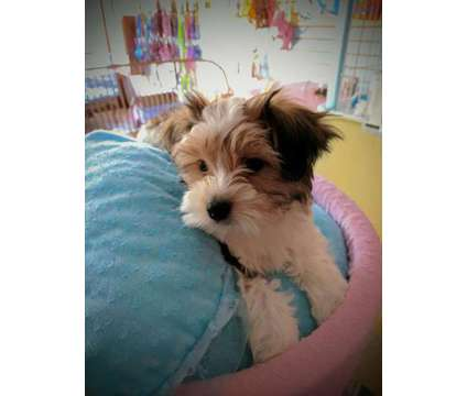 Yorki's, YorkiPoo's, Morkies is a Yorkipoo, Yorkshire Terrier For Sale in Milwaukee WI