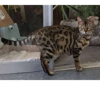 Beautiful Brown spotted Bengal lady cat looking for a special home is a Brown Female Bengal Adult Wanted in San Jose CA