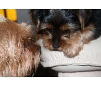 Yorkie is a Male Yorkshire Terrier Puppy For Sale in Chula Vista CA