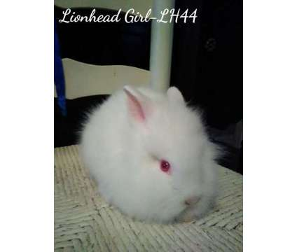 Lionhead Rabbits-[phone removed] is a For Sale in Inverness FL
