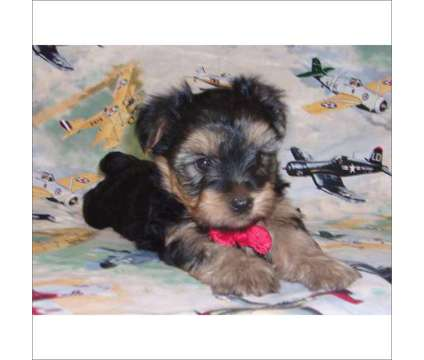 Yorkshire Terrier Puppies is a Female Yorkshire Terrier Puppy For Sale in Tucson AZ