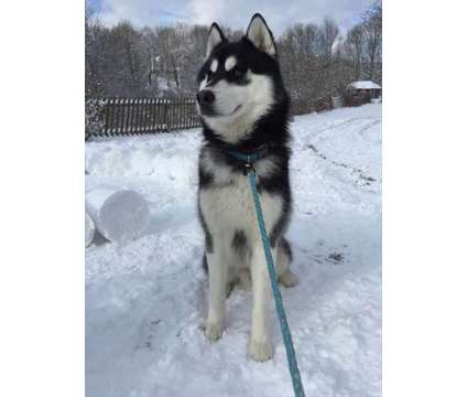 AKC Siberian Husky Puppies for Sale is a Male Siberian Husky Puppy For Sale in Grabill IN