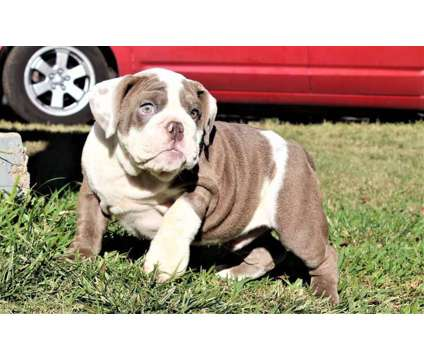 Commander, Lilac Seal Male 6 Months old is a Male Bulldog For Sale in Dallas TX