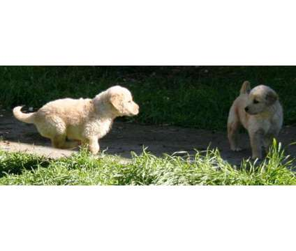 Golden Retriever Puppies is a Male Golden Retriever Puppy For Sale in Antioch CA