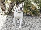 Mac American Bulldog Adult Male