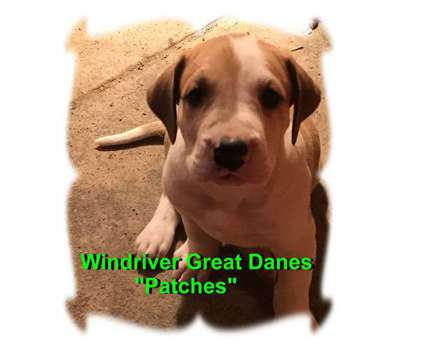 AKC Windriver Great Dane Puppies is a Female Great Dane Puppy For Sale in Bland MO