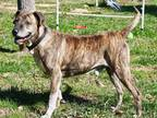HAWK Rhodesian Ridgeback Senior Male