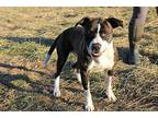 Arrow American Pit Bull Terrier Young Male