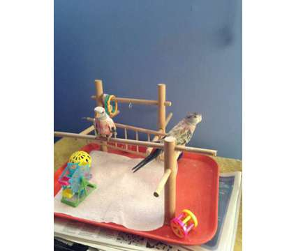 Rosey Bourke Handfed Parakeets for Sale is a Parakeet Baby For Sale in Bolingbrook IL