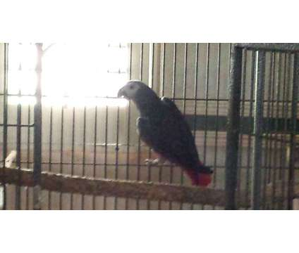African Grey Parrot is a Grey Male African Grey Parrot For Sale in Alexander City AL