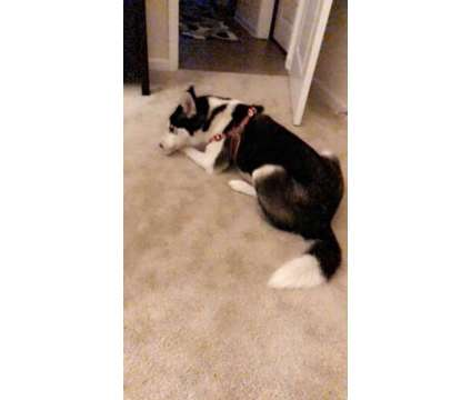 1yr Old Female Husky is a Female Siberian Husky For Sale in San Jose CA