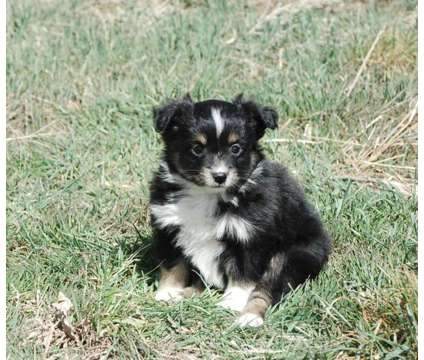 Adorable Toy Australian Shepherd puppies is a Male Miniature Australian Shepherd Puppy For Sale in Denver CO