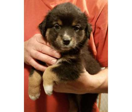 Australian Shephard puppies is a Female, Male Australian Shepherd Puppy For Sale in Port Allegany PA