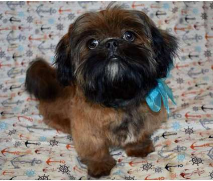Stunning Solid Red Shih-Tzu Puppy is a Red Male Shih-Tzu For Sale in Whittier CA