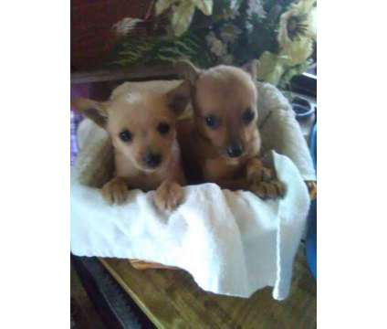 Chorkie (Chihuahua/Yorkie mix) is a Male Chihuahua Puppy For Sale in York SC