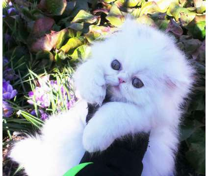 CFA Persian kitten female available is a Male Persian Kitten For Sale in Vancouver WA