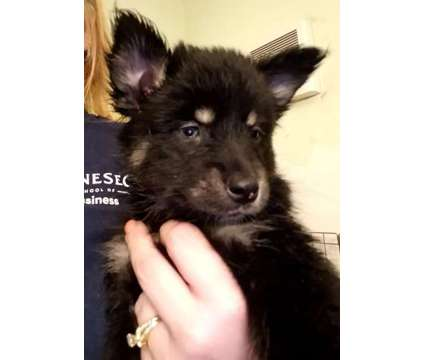 Pomsky pups is a Male Puppy For Sale in Henrietta NY