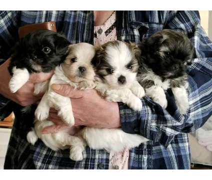 Small breed mixed puppies is a Female Puppy For Sale in Sequim WA