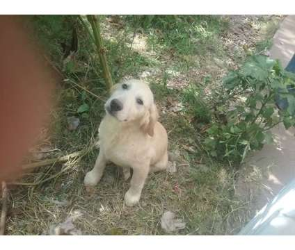 Golden Retriever puppy is a Male Golden Retriever For Sale in Springfield MO