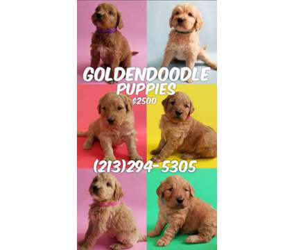 Goldendoodle Puppies is a Female Goldendoodle Puppy For Sale in Rosemead CA