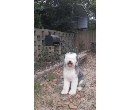 Sheepadoodle Pups is a Puppy For Sale in Wynne AR