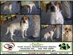Molly Coonhound Adult - Adoption, Rescue