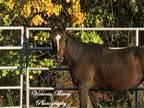 Sophie Thoroughbred Young - Adoption, Rescue