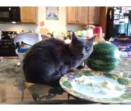 Available and ready to rehome is a Female Maine Coon Young For Sale in Sacramento CA