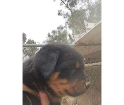 Akc Rottweilers is a Male Rottweiler Puppy For Sale in Phoenix AZ