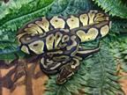 Mr snake Snake Adult - Adoption, Rescue