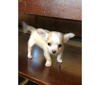 Mi KI is a Male Mi-Ki Puppy For Sale in South Bend IN