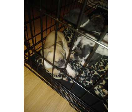 Pitbull puppies is a Male Pit Bull Terrier For Sale in Carnesville GA