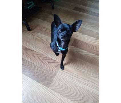 1 1/2 year old male Chihuahua is a Male Chihuahua For Sale in Box Elder SD