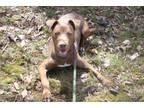 Chako Labrador Retriever Young - Adoption, Rescue