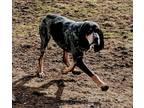 Memphis Bluetick Coonhound Adult - Adoption, Rescue