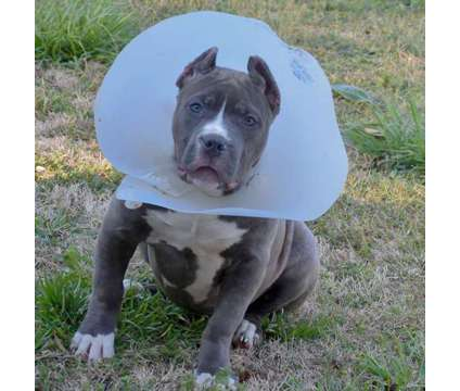 XXL Bully UKC Papers Top Pedigree is a Female Puppy For Sale in Atlanta GA