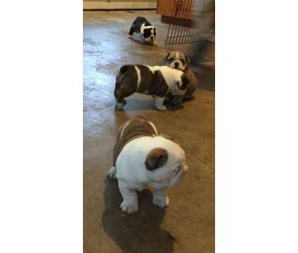 English Bulldog is a Female Bulldog For Sale in Houston TX