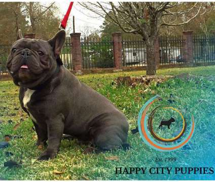 Stud Service Blue male French bulldog is a Blue Male French Bulldog For Sale in Houston TX