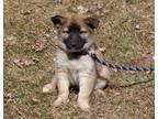 Doc Puppy Siberian Husky Baby - Adoption, Rescue