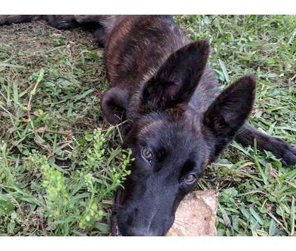 Dutch Shepherd puppies for sale is a Female Dutch Shepherd Dog Puppy For Sale in Miami FL