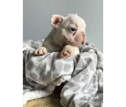 French Bulldogs is a Male Bulldog, French Bulldog Puppy For Sale in Los Angeles CA