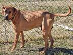 HUNTER Black Mouth Cur Adult Male