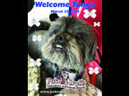 Tango Lhasa Apso Senior - Adoption, Rescue