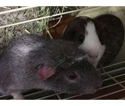 Free to Good Home (2 Male Guinea Pigs) is a Male Free in Lavonia GA