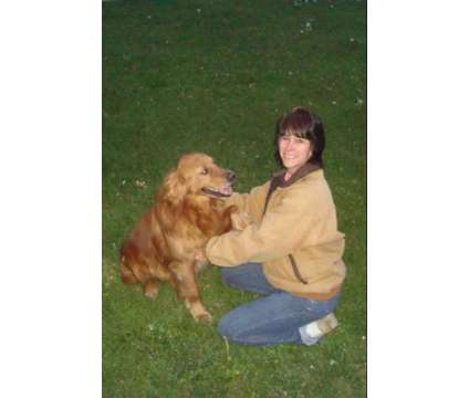 AKC Golden Retriever Stud Service is a Male Golden Retriever For Sale in Lima OH