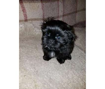 shih Tzu puppies is a Brown Female Shih-Tzu Puppy For Sale in Bremerton WA