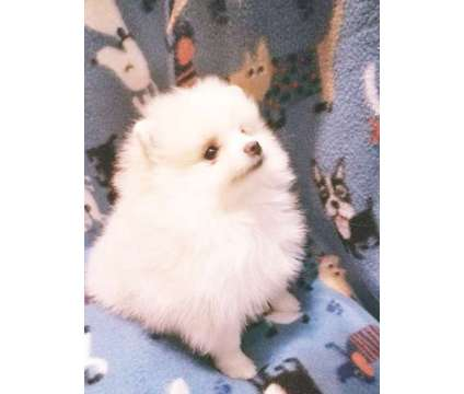 Adorable Tiny Male Pomeranian puppies for Sale is a Male Pomeranian For Sale in Woodridge IL