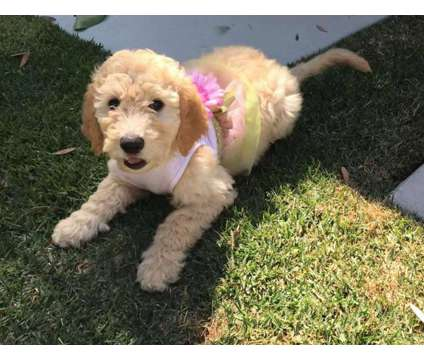 F2B Goldendoodle Puppies is a Goldendoodle Puppy For Sale in Englewood FL