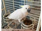 Sunshine Cockatoo Adult - Adoption, Rescue