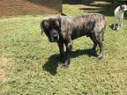 Big Foot Mastiff Adult Male